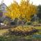 Őszibarackfa felkészült a télre.