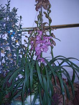 orchidea kiállítás 2011. nov.05. 024
