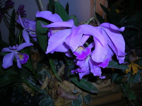 orchidea kiállítás 2011. nov.05. 059