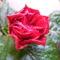 Félig kinyílt kínai rózsa