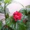 Hibiscus az erkélyen eső után