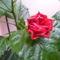 Hibiscus eső után