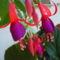 virág 008 Fukszia