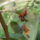 Körtefa élősködője