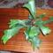 szarvas agancs pafrany