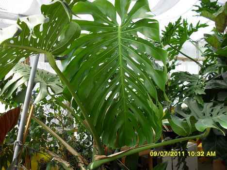 001Filodendron