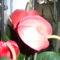 flamingovirág