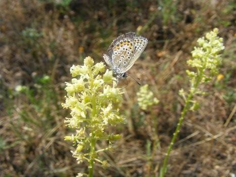 Kis pillangó a mezei virágon