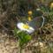 Mezei kisvirág és a pillangó