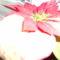 mikulásvirág
