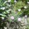 törpe szegfü