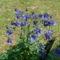Tavaszi haranfvirág Igazi!!!!!!!!!!!!!!