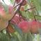 virág 031 Őszibarackom