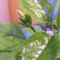 Bimbós hibiscus