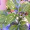 Bimbós hibiscus2