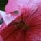 Petunia porzó
