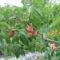 virág 024 Mariska barackom színesedik