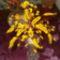 sárga gyöngyfa