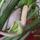 Zamioculcas  virága