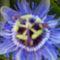 GOLGOTAVIRÁG   Erőteljes növekedésű,örökzöld kúszónövény!