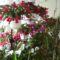 Karácsonyi kaktusz,és Húsvéti kaktusz