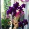 Lilaszínű lepkeorchidea