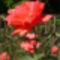KERTEM virága