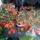 Begonia közelről 2010 (BONFIRE) Örömtűz begónia