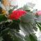 Kései kaktusz virága