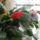 Kései karácsonyi kaktusz
