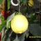 Tél 1     citrom