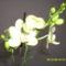 Tél 4     orchidea
