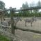 A csíkos lovak és a zsiráf