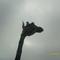 Az égig érő ... zsiráf