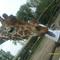 Dorina és a zsiráf