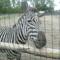 Egy zebra