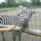 Zebra simi