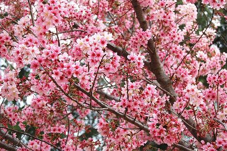 cseresznyefa2o