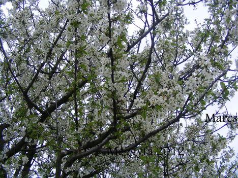 Virágba a meggyfa