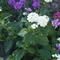 Vanilia virág