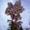 A császárfa virágbugája.