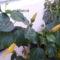 Hibiscus bimbók