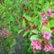 rózsa lonc