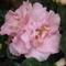 Azálea (rózsaszin)