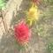 gyümölcsös 012