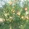 gyümölcsös 019