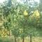 gyümölcsös 021