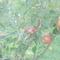 gyümölcsös 024