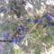 Kék boróka