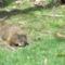 Mormota a kertunkben